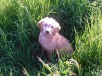 F1 goldendoodle pups ready Dec1 First shots and Wormed