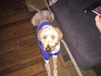 I have a 2 years of age goldendoodle male that's home