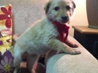 Elsa is a petite female Goldendoodle that will be a