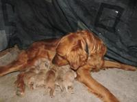 Ten goldendoodle puppies born 12/27/14. They will be