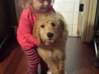 Beautiful 15 week goldendoodle. Smart, playful, and