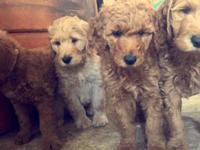 Standard f1b Goldendoodles born March 6,2015. All are