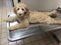 I have a 4 1/2 MONTH OLD FEMALE GOLDENDOODLE FORSALE!!!