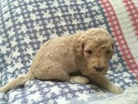 Goldendoodle Puppies available after July 21st. Only