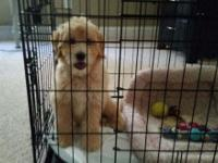 Beautiful 7 month goldendoodle needs a home that can