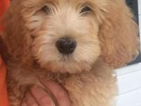 Handsome male F1B Goldendoodle looking for his forever