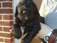 Gorgeous Goldendoodle Puppies for sale. When they are 8