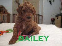 Meet Bailey. An F1b Goldendoodle. He was born on May