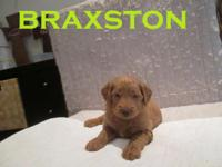 Meet Braxston! An F1b goldendoodle. He was born on May