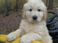"This is a MALE Goldendoodle puppy. His ""Dad"" is an AKC"