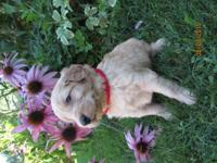 Goldendoodle English Teddy Bear puppies. F1B - CKC