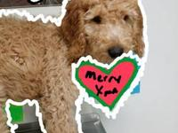 We have 4 female F1b Goldendoodle pups reds apricots