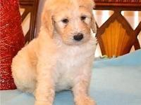 We are expecting a brand-new litter of F1B Goldendoodle