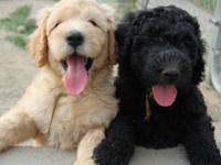 I have 2 gorgeous black male goldendoodles available.