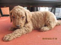 These are our precious CKC registerd F1b Goldendoodle.