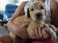 I have a Beautiful male f1b goldendoodle puppy offered