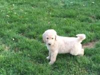 Golden doodle Pups F1b 2 Male golden doodles left