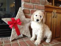 Gorgeous F1B female pup now ready! She is 8 weeks old,