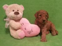 We have a Gorgeous litter of F1b Red Goldendoodle