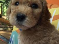 Adorable and loving F1B Goldendoodle puppies. These are