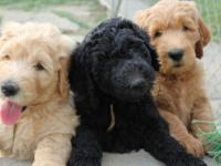 Standard size Goldendoodles due around Thanksgiving! If