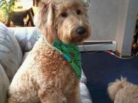 Our F1 Standard size Goldendoodle (63 lbs) Was bred to
