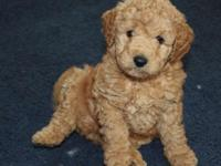 Our trash of F1B Goldendoodle young puppies arrived May