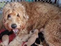 We have a litter of 9 gorgeous F1b Goldendoodle
