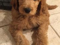 Selling our Goldendoodle puppy which we purchased from