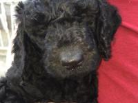 Female F1b Golden Doodle ~ first vaccination given by