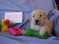 Beautiful cream (F2) Goldendoodle puppies. These are