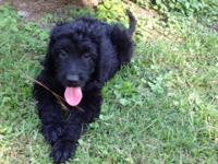 Black Goldendoodle female pup. Puppy shots appropriate