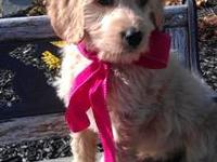 Female Goldendoodle puppy. She is 8 weeks old. Started