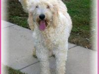 F1 Goldendoodle puppies born May 23, 2013. Cream &