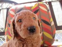 Bailey is a CKC registerd F1b Goldendoodle. He born on