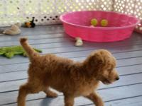 "We have a Handsome ""F1"" Male Goldendoodle Pup"