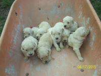 Wow! Clemmie had a litter of 11 puppies - 8 males and 3