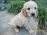 Beautiful MALE Goldendoodle puppy. It was born on July