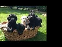 The Goldendoodles prepare now for thier brand-new