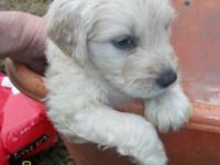 Stunning male Goldendoodle puppy born upon December 7,