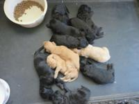 We have a litter of Goldendoodle mediums. Born on