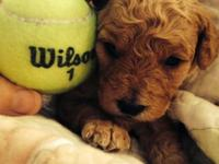 We have a litter of Teddy Bear Mini Goldendoodles. The