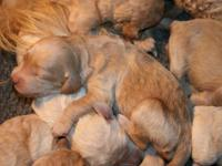 We have Goldendoodle Puppies that were born on Labor