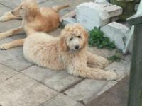 "Hypo-allergenic, Goldendoodle-""Majestic Poodle"" young"