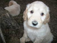 Gorgeous F1B Goldendoodles! Ready for their new homes