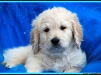 Beautiful goldendoodles for sale. Father is a