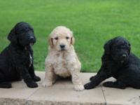 Adorable Goldendoodle Puppies. 8 Available. 5 Females