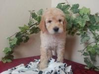 Beautiful F1b Goldendoodle puppies...7 females, 4