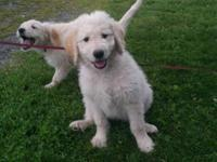 One female and one male goldendoodle puppies left. They
