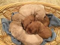 Female and male Goldendoodle puppies two weeks old.